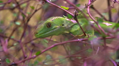 A rare Northland green gecko New Zealand Stock Footage