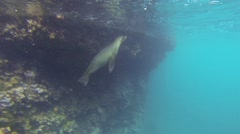 Stock Video Footage of Playful pair of Galapagos Sea Lions underwater at Champion Island off Floreana