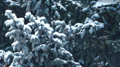 Spruce Tree With Fir-Cones Stock Footage