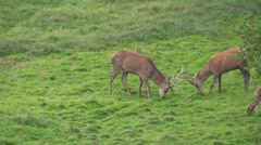 red deer rutting season - stock footage