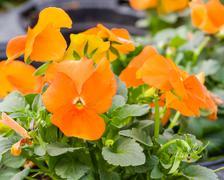 Orange viola flowers in bloom Stock Photos