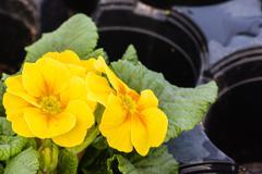 Yellow primrose plants in flower Stock Photos