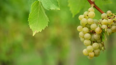 White grapes Stock Footage