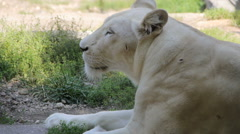 Lazy white lioness resting on summer sun - stock footage