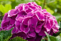 Purple or pink hydrangea flowers - stock photo