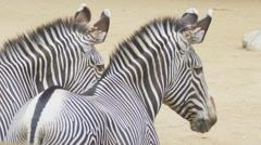 Two zebras Stock Footage