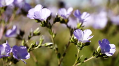 A Beautiful purple and white wildflowers Stock Footage