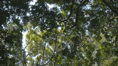 Tree canopy outdoors in rainforest jungle woods Stock Footage
