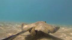 Underwater of a swimming diamond stingray, Dasyatis dipterura in Galapagos Stock Footage