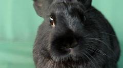 Small dwarf black bunny close-up Stock Footage