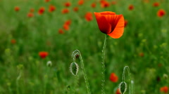Incredibly beautiful poppy flowers FULL HD Stock Footage