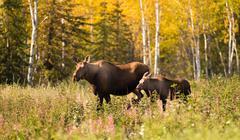 Cow Moose leads Her Calf Across Road Near Denali Alaska Stock Photos