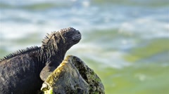 Marine Iguana, Amblyrhynchus cristatus in the surf on Las Bachas on Santa Cruz Stock Footage