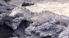Two male Marine Iguanas fighting at Punta Espinosa on Isla Fernandina in the Stock Footage