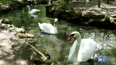 White swan swimming in a zoo pond Stock Footage