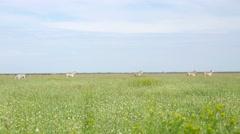 Biosphere Reserve Askania Nova in Ukraine - zebra grazing Stock Footage