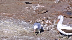 Nazca booby courting on Genovesa Island in the Galapagos National Park, Ecuador. - stock footage