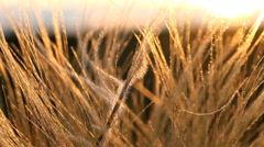 a picturesque backdrop , feather meadow at sunset HD - stock footage