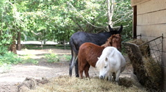 Two little horse and a donkey eating Stock Footage