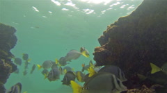 Underwater footage of a razor surgeonfish and snorkeler off Santiago Island in - stock footage