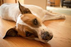 A White and Brown Mixed Boxer-Pointer Dog Rests on a Wooden Interior Floor, l Stock Photos