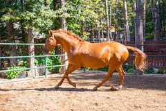 Horse running at the paddock Stock Photos