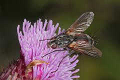 Fly feeding on an thistle flower head. - stock photo