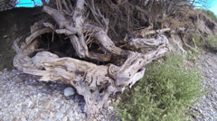 The Root System Of Trees at a seaside Stock Footage