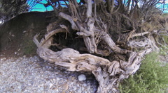The Root System Of Trees at a seaside - stock footage