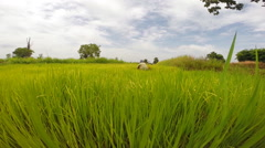 Editorial footage of farmer family in green rice farm , Asian , Thailand Stock Footage