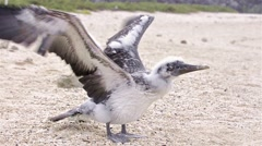 Nazca booby, Sula granti dactylatra chick trying to fly on Genovesa Island in Stock Footage