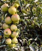 Bough full of green apples Stock Photos