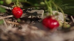 Strawberries grow in a field. Stock Footage