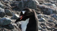 Penguin Scratching Stock Footage