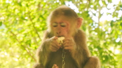 Closeup monkey with metal chain on neck sits eats fruit in park Stock Footage