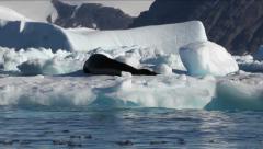 Leopard Seal on Iceberg Stock Footage