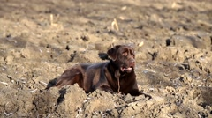 Brown labrador lying on the ground Stock Footage