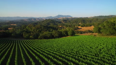 An side low aerial over vast rows of vineyards in Northern California's Sonoma - stock footage
