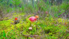 Red fly agaric in autumn forest Stock Footage