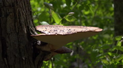 Large mushroom growing off tree trunk 4k Arkistovideo