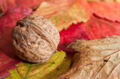 walnut on autumnal leaves - stock photo