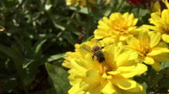 Honey Bee searching through flower for pollen slow motion Stock Footage