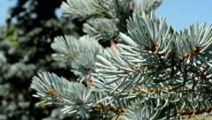 Stock Video Footage of detail of the conifers needles in the forest - breeze blows