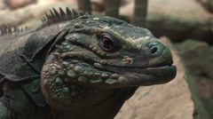 Large iguana looking at camera staying very still 4k Stock Footage