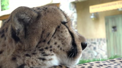 Young cheetah laying in shade relaxing 4k Stock Footage
