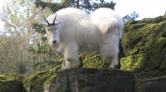 Mountain Goat stands on a rocky ledge Stock Footage