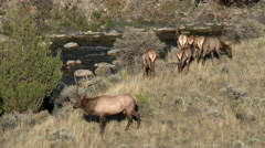 Elk, Yellowstone National Park Stock Footage