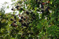 Blackberries shrub - stock photo
