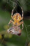 Spider with its captured hover fly. Stock Photos