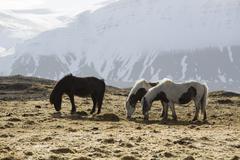 Stock Photo of Icelandic horses in wintertime